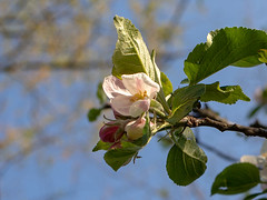 apple blossoms (François dt) Tags: canon 6dmarkii canon6dmarkii nature flower tree spring