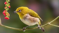 bird (sandilesmana28) Tags: sony a9 gm 100 400mm