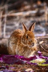 Cabbage Patch Bunny (flashfix) Tags: april162019 2019inphotos flashfix flashfixphotography ottawa ontario canada nikond7100 55mm300mm rabbit hard bokeh sunshine cabbage snacking nature animal