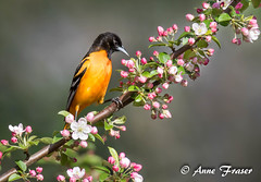 Baltimore Oriole (Anne Marie Fraser) Tags: male oriole nature wildlife baltimoreoriole flowers tree spring springtime