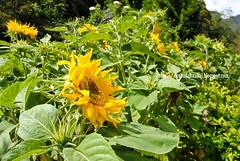 Sunflower (Lt Fukai Enterprise ( akubudaknakal )) Tags: flower bunga sabah sabahtourisim kundasang mile36lodge malaysia malaysiavisit closeup nikon nikkor d3000