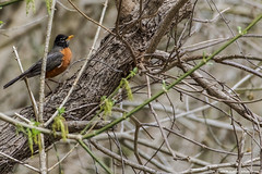 2019.04.09.8848 Robin in a Tree (Brunswick Forge) Tags: 2019 grouped virginia bird birds greenfield botetourtcounty animal animals animalportraits outdoor outdoors nature wildlife spring nikond500 nikkor200500mm sky air tree trees woods