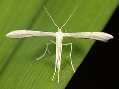 EOS 7D Mark II_083660 (Gertjan Kamsteeg) Tags: animal invertebrate bug macro insect vedermot pterophoridae plumemoth moth nachtvlinder