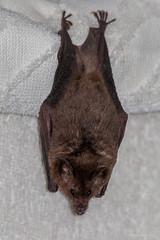 Bat (Wilmer Quiceno) Tags: murcielago bat medellin colombia natural silvestre alados naturaleza nature vidasalvaje wildlife naturephotography animals natur