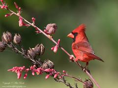 Northern Cardinal (Cardinalis cardinalis) (www.mikebarthphotography.com 2M Views thanks !) Tags: cardinaliscardinalis northerncardinal