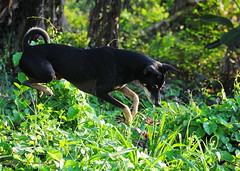 ,, Leapin Lizards ,, (Jon in Thailand) Tags: nikon nikkor d300 70300vr dog k9 jumpingdog flyingdog jungle snakehunting green heavyjungle deepjungle cobrahunting rescueddog dogtail dognose dogears jungledog leapinlizards dogeyes littledoglaughedstories morningsun flubber