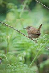 Wren 2 (cabalvoid) Tags: wren bird birding wildlife woodland