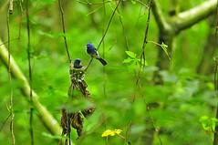 Avifauna in the forest of Taiwan (mattlaiphotos) Tags: blacknapedbluemonarch bird wildlife nature birdwatching woods forest taiwan vines avifauna 鳥 黑枕藍鶲 nest 台中 大坑 ecology endemicsubspecies