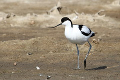 Ugh! this mud is disgusting-7D2_3485-001 (cherrytree54) Tags: avocet rye harbour east sussex canon sigma 7d 150600