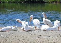 White Pelicans (hennessy.barb) Tags: jndingdarlingnationalwildliferefuge whitepelicans pelicans barbhennessy