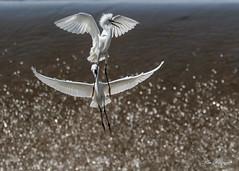 Snowy Egrets At War (GraceKW) Tags: snowy egret at war