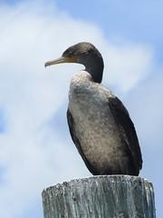 cormorant portrait (Cheryl Dunlop Molin) Tags: cormorant juvenilecormorant doublecrestedcormorant bird