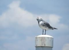 gull preening (Cheryl Dunlop Molin) Tags: gull bird