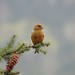 Type 4 Red Crossbill