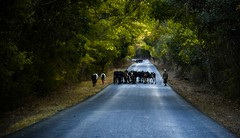 Heading Home (Rod Waddington) Tags: africa afrique afrika madagascar malagasy cattle culture cultural candid road forest forrest