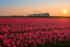 2019.04.16_12463_Hillegom_SNG_2742 (rcbrug) Tags: flowerbulbs flowers tulips tulipseason bollenvelden bloembollen bollenstreek hillegom trein sunrise zonsopkomst dawn sng sprinternieuwegeneratie