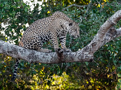 Pantanal_3044 (Jimmy Vangenechten 76) Tags: geo:lat=1727542776 geo:lon=5668574603 geotagged brazilië brazil pantanal wildlife animal dier portotrêsirmãos microrregiãodoaltopantanal mesorregiãocentrosulmatogrossense matogrosso centralwestregion fazendajofrevelho sãolourençoriver riosãolourenço encontrodaságuasstatepark parqueestadualencontrodaságuas jaguar pantheraonca