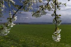 Cherry tree avenue on the Einsiedel - II (KF-Photo) Tags: acker einsiedel felder grasweg kirschbäume kirschbaumallee kirschblüte schwäbischealb swabianalb