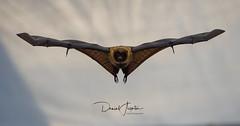 rodrigues flying fox (daniel_aegerter_photo) Tags: rodrigues flying fox fruit bat animal animals wings zoo zurich nature nikon d500