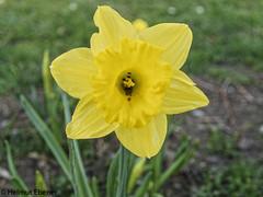 Braunschweig, Frühlingsblumen (bleibend) Tags: 2019 em5 leicadgsummilux25mmf14 omd blumen braunschweig bs flower flowers frühling m43 mft natur nature niedersachsen olympus olympusem5 olympusomd spring