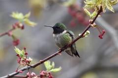 Ruby-throated Hummingbird (male) (Linda Ramsey) Tags: may ontario outdoors backyard bird nature hummingbird rubythroatedhummingbird