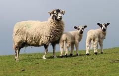 Ewe with Lambs (jdathebowler Thanks for 4 Million + views.) Tags: sheep ewe twinlambs farmanimal farmland farming countryside countryscene greatphotographers ngc