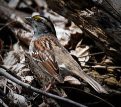 White-throated Sparrow (Rick Burbidge) Tags: birds whitethroatedsparrow