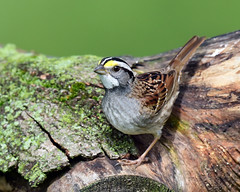 DSC_0382.White-throated Sparrow (laurie.mccarty) Tags: bird animal whitethroatedsparrow nature wildlife