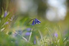 Blue Blue Meadow... (KissThePixel) Tags: blue blueflowers bluebells blueflower bluebell bluebellmeadow meadow longacremanor bokeh bokehlicious bokehwednesday april warm spring nikon helios helios44m nikondf