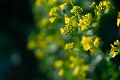 菜の花や 月は東に 日は西に Yosa Buson (Tashata) Tags: flowers macro yellow plant flora florals beautiful botanical bright bokeh blooming light dark dof depthoffield outdoor outdoors closeup colors composition sonyilce7rm2 fe90mmf28macrogoss
