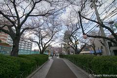 Arakawa Yuen Mae (takashi_matsumura) Tags: arakawa yuen mae nishiogu arakawaku tokyo japan ngc nikon d5300 sakura cherry blossoms 荒川遊園前 荒川区 東京 桜 afp dx nikkor 1020mm f4556g vr