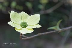 BK0_1426 (b kwankin) Tags: california dogwood plant yosemitenationalpark
