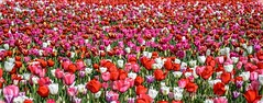 Tulip blanket (Christie : Colour & Light Collection) Tags: tulip floral flowers bouquetofflowers tulipa spring perennial bulbs flowering flower springflower blanket liliaceae holland lily dutch earlyspring romance romantic colourful colorful colours farming color colour fieldofdreams pink white red purple nikon nikkor dslr outdoors bc canada canadagrown bouquet tiptoethroughthetulips tulp netherlands tepals petals sepals bcgrown chilliwack