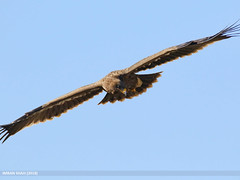Steppe Eagle (Aquila nipalensis) (gilgit2) Tags: abbottabad avifauna birds canon canoneos7dmarkii category changlagali fauna feathers geotagged imranshah kpk location pakistan species steppeeagleaquilanipalensis tags tamron tamronsp150600mmf563divcusd wildlife wings gilgit2 aquilanipalensis
