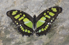 Butterfly 2019-4 (michaelramsdell1967) Tags: butterfly butterflies nature macro animal animals insect insects beauty beautiful pretty lovely green black malachite morpho upclose closeup vivid vibrant detail delicate bug bugs wings garden fragile colorful wing zen
