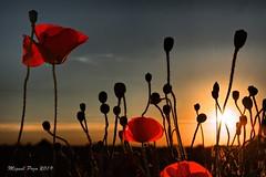 AMAPOLAS (LA PUEBLA DE CAZALLA - SEVILLA) (Miguel Pozo) Tags: pozoman amapolas miguelpozo2 miguelpozo phot flor naturaleza atardecer lapuebladecazalla sevilla nikon d7100 reveladodigital raw nef