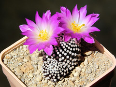 Mammillaria luethyi (Resenter89) Tags: cactus piante grasse succulente cacti kakteen cactaceae mammillaria luethyi bloom blooming flowers pink white purple double couple mineral soil mix rooted cutting