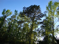 Trees And Blue Sky. (dccradio) Tags: lumberton nc northcarolina robesoncounty outdoor outdoors outside greenery foliage leaf leaves plant sony cybershot dscw230 april spring springtime tuesday tuesdayevening tuesdaynight evening tree trees woods wooded landscape bud budding buds newleaves nature natural