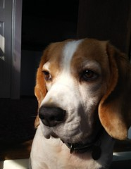Hoagie in the shadows April 2019 (-meryl-) Tags: hoagie beagle tricolour dog canine pet
