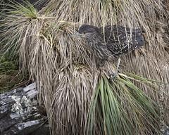 Balck-crowned Night-Heron (karenmelody) Tags: animal animals ardeidae bird birds blackcrownednightheron eastfalklandisland falklandislands heron herons nycticoraxnycticorax pelecaniformes vertebrate vertebrates stanley
