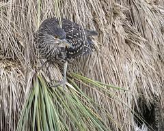Balck-crowned Night-Heron, juvenile (karenmelody) Tags: animal animals ardeidae bird birds blackcrownednightheron eastfalklandisland falklandislands heron herons nycticoraxnycticorax pelecaniformes vertebrate vertebrates stanley