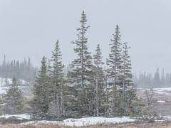 May snow III (Fjällkantsbon) Tags: doroteakommun sverige klöverdalenmedomgivningar lappland borgafjäll vårvinter evamårtensson västerbottenslän lapland springwinter snowshower spruce mire platser årstider