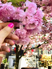 Color F^cking Realness ―NO FILTER 🌺 🌷 🌺 (anokarina) Tags: appleiphone8 parkview instagram nofilter spring city urban flowers blossoms blooms pink green blue skies sky mothernature natural flora tree manicure nails
