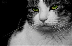 Lost in thought (Logris) Tags: katze lissy cat animal tier haustier ck colorkey green eyes augen grün eos canon