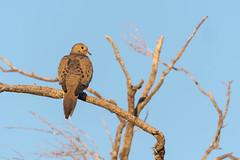 Black Spots (rickcameron) Tags: mourningdove bird perching tree latigotrail brownsranch mcdowellsonoranpreserve scottsdale arizona desert sonorandesert