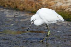 Little Egret-7D2_6669-001 (cherrytree54) Tags: little egret rye harbour east sussex canon sigma 7d 150600