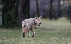 Raider (Meghan W) Tags: coyote nature wildlife outdoor ontario spring animal duck mallard eastern songdog mammal