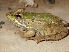 Rana, frog (Marta T.L.) Tags: rana frog anfibio amphibia anura amphibian pelophylax perezi
