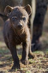 Baby hyena (Tambako the Jaguar) Tags: spotted hyena cub pub baby newborn young cute black standing posing sunny grass dry portrait face lionsafaripark johannesburg southafrica nikon d5