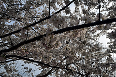 DSC_0122-61 (jjldickinson) Tags: nikond3300 109d3300 nikon1855mmf3556gvriiafsdxnikkor promaster52mmdigitalhdprotectionfilter washingtondc cherry tree flower bloom blossom